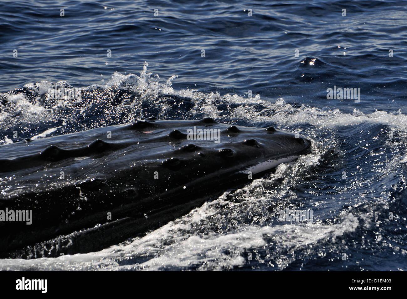 Ballena macho asfaltado junto a un Cruising Yacht, uno de 4 (o más) hombres ballenas que aparentemente estaban compitiendo por una hembra. Tonga Foto de stock