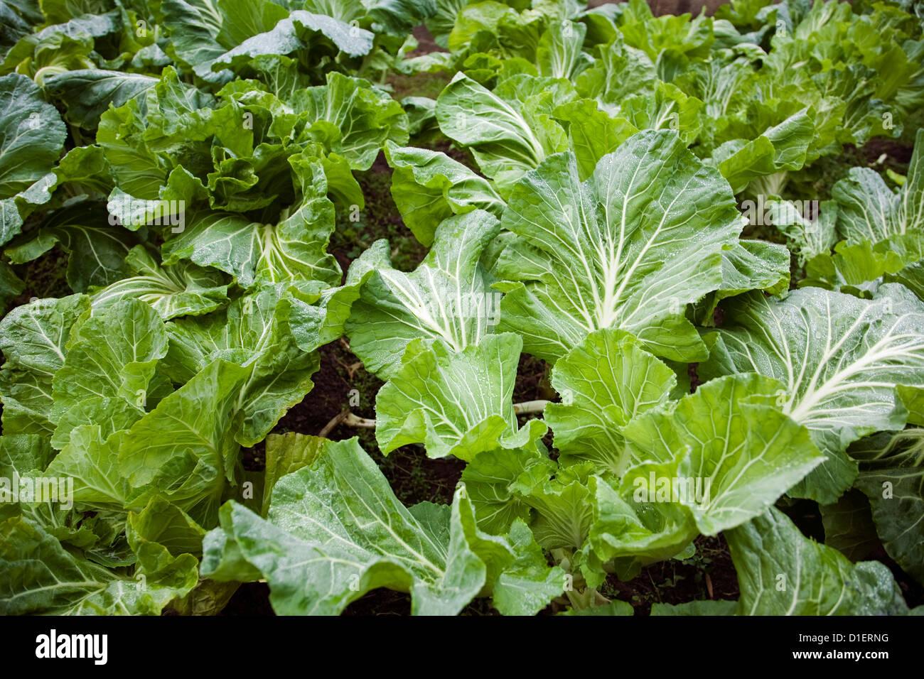 Huerta de los repollos plantaciones Imagen De Stock
