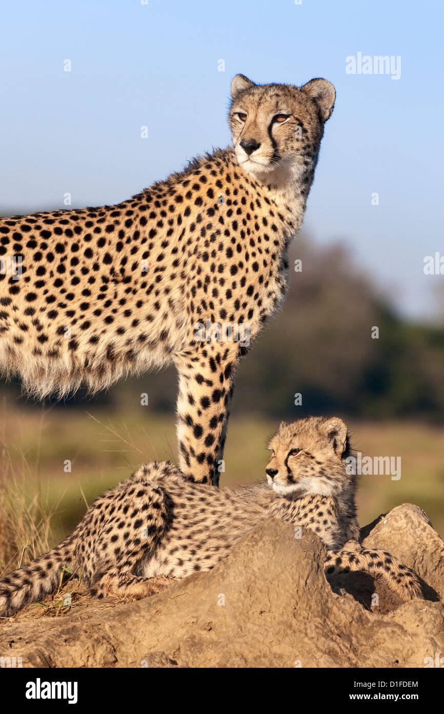 Guepardo (Acinonyx jubatus) con cachorro, Phinda Private Game Reserve, Kwazulu Natal, Sudáfrica, África Foto de stock