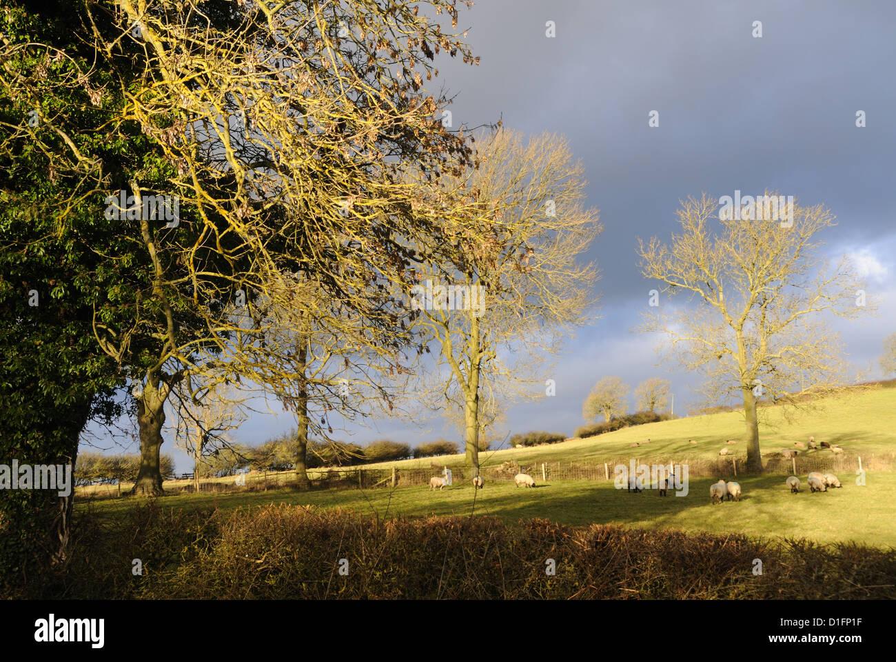 Se enciende la luz de diciembre bajo los árboles de Robin-a-Puntillas Hill, cerca de Tilton-on-the-Hill, Leicestershire, Inglaterra Foto de stock