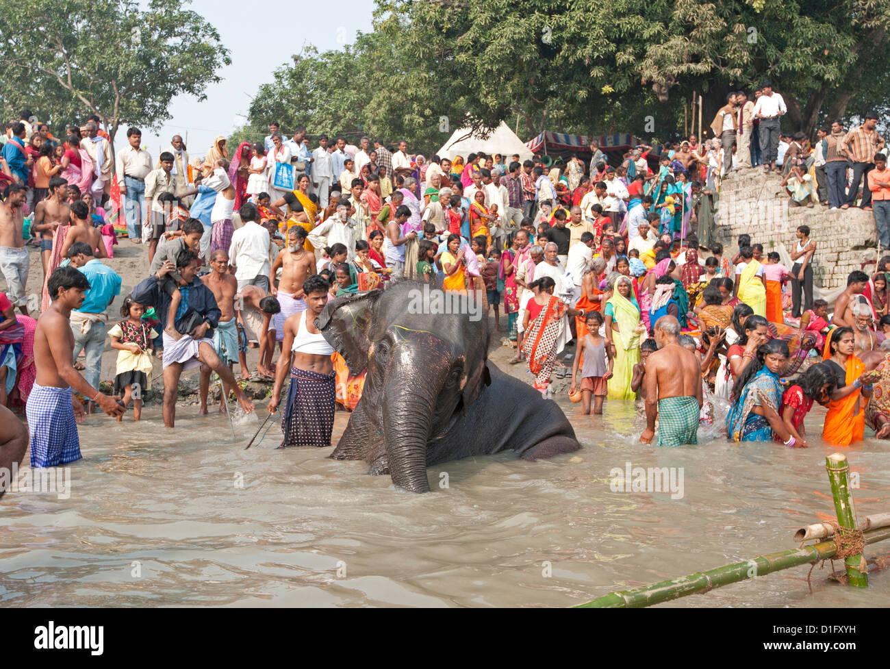 Lavado de elefantes cerca de las orillas del río Ganges llena de visitantes a la Feria Ganadera, Sonepur en Imagen De Stock