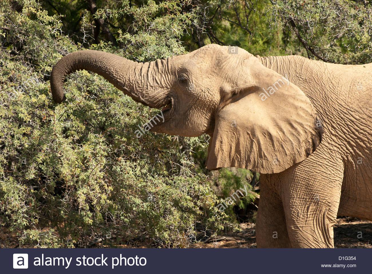 Desierto el elefante (Loxodonta africana), endémica de Namibia, adaptado al desierto y valles fluviales, Kaokoveld, Imagen De Stock