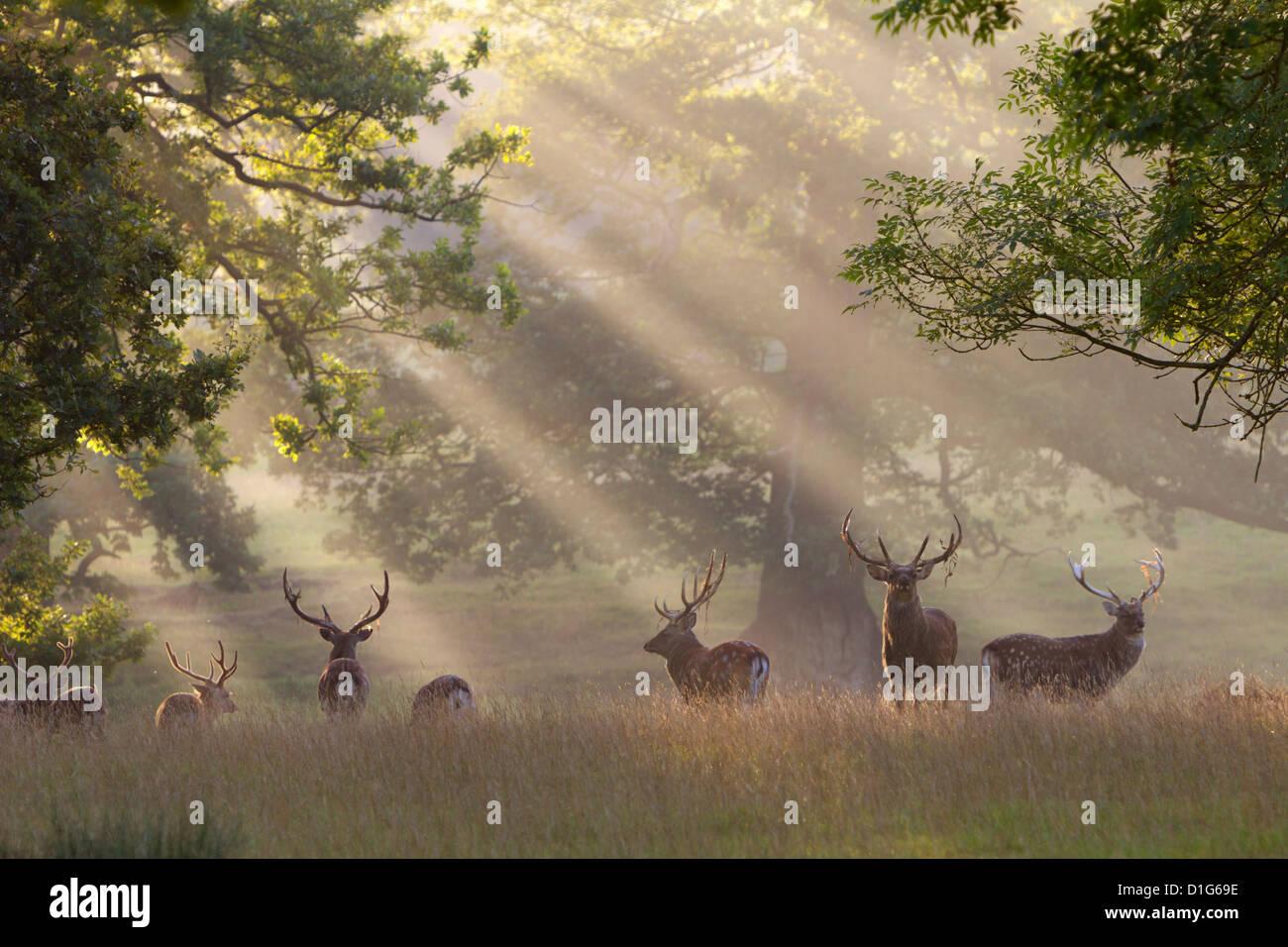 Ciervos en la niebla de la mañana, Woburn Abbey Park, en Woburn, Bedfordshire, Inglaterra, Reino Unido, Europa Imagen De Stock