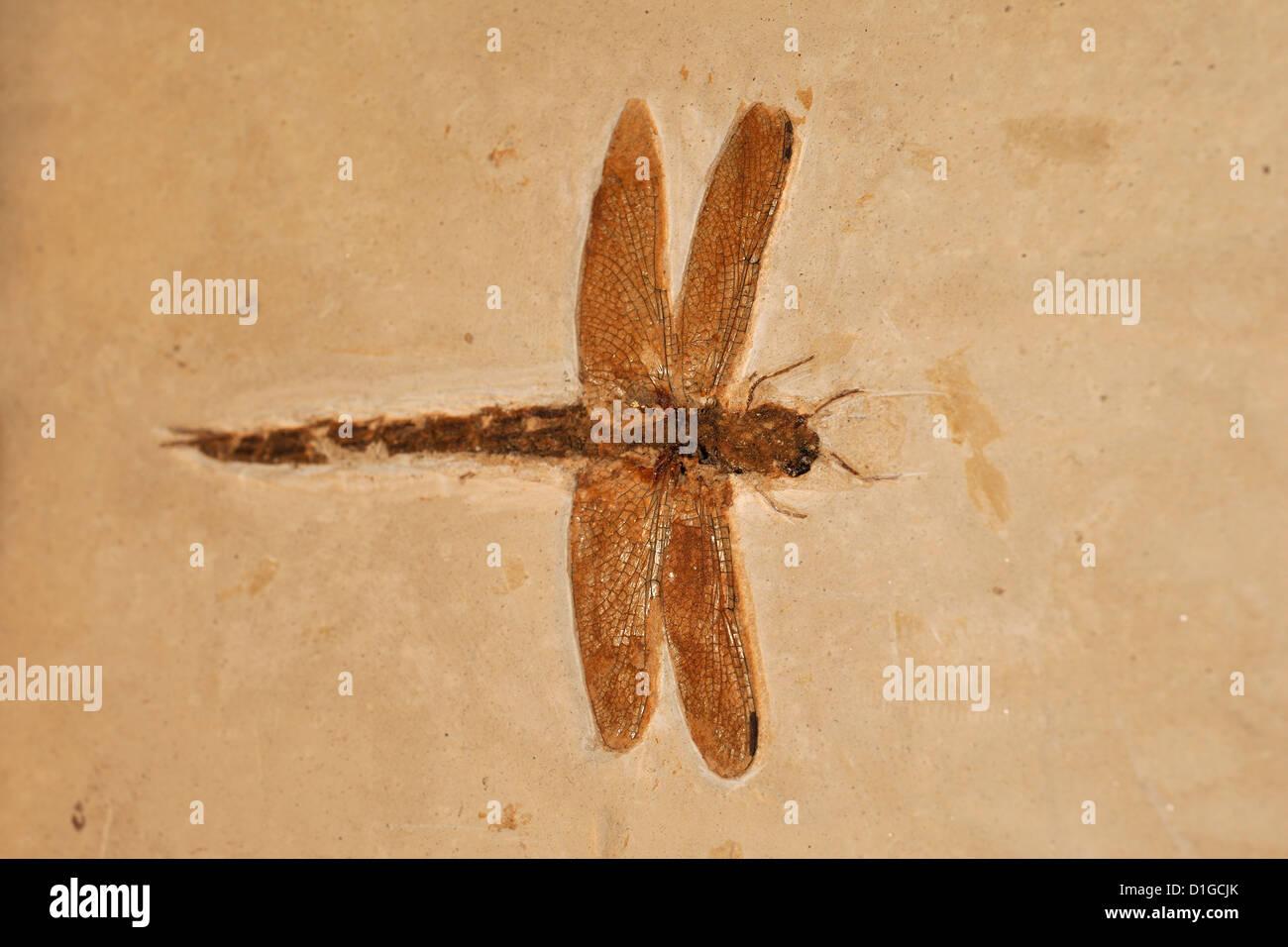 Libélula fósil, Odonata, Período Cretácico, Grado, Italia Imagen De Stock