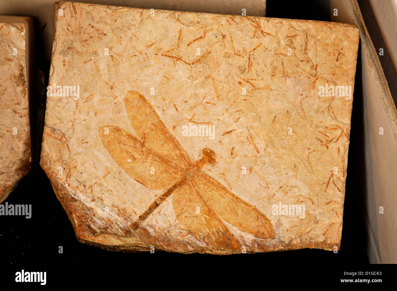 Libélula fósil, Odonata, Período Cretácico, Grado, Italia Foto de stock