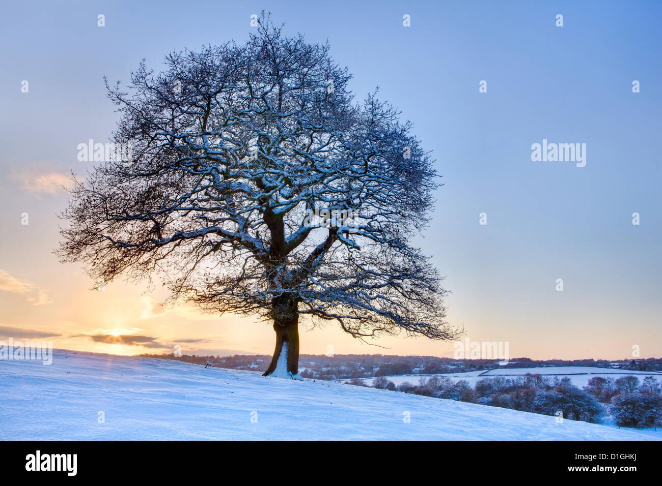 Árbol cubierto de nieve al atardecer, cerca de madera, Hetchell Thorner, West Yorkshire, Yorkshire, Inglaterra, Imagen De Stock