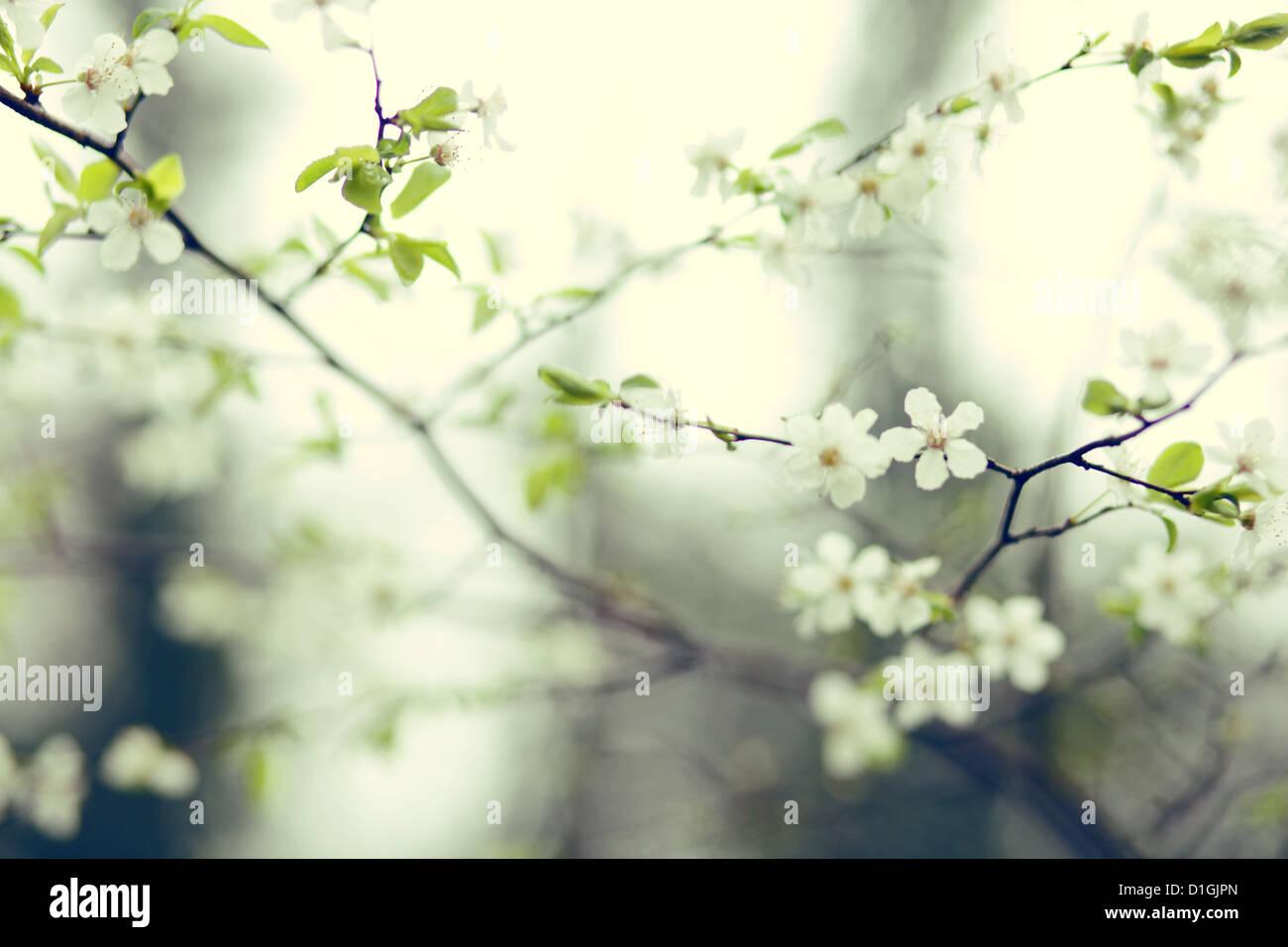 Un primer plano de la flor de cerezo en flor en la primavera Imagen De Stock