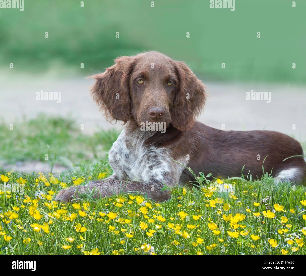 Los jóvenes Munsterlander perro en el césped Imagen De Stock
