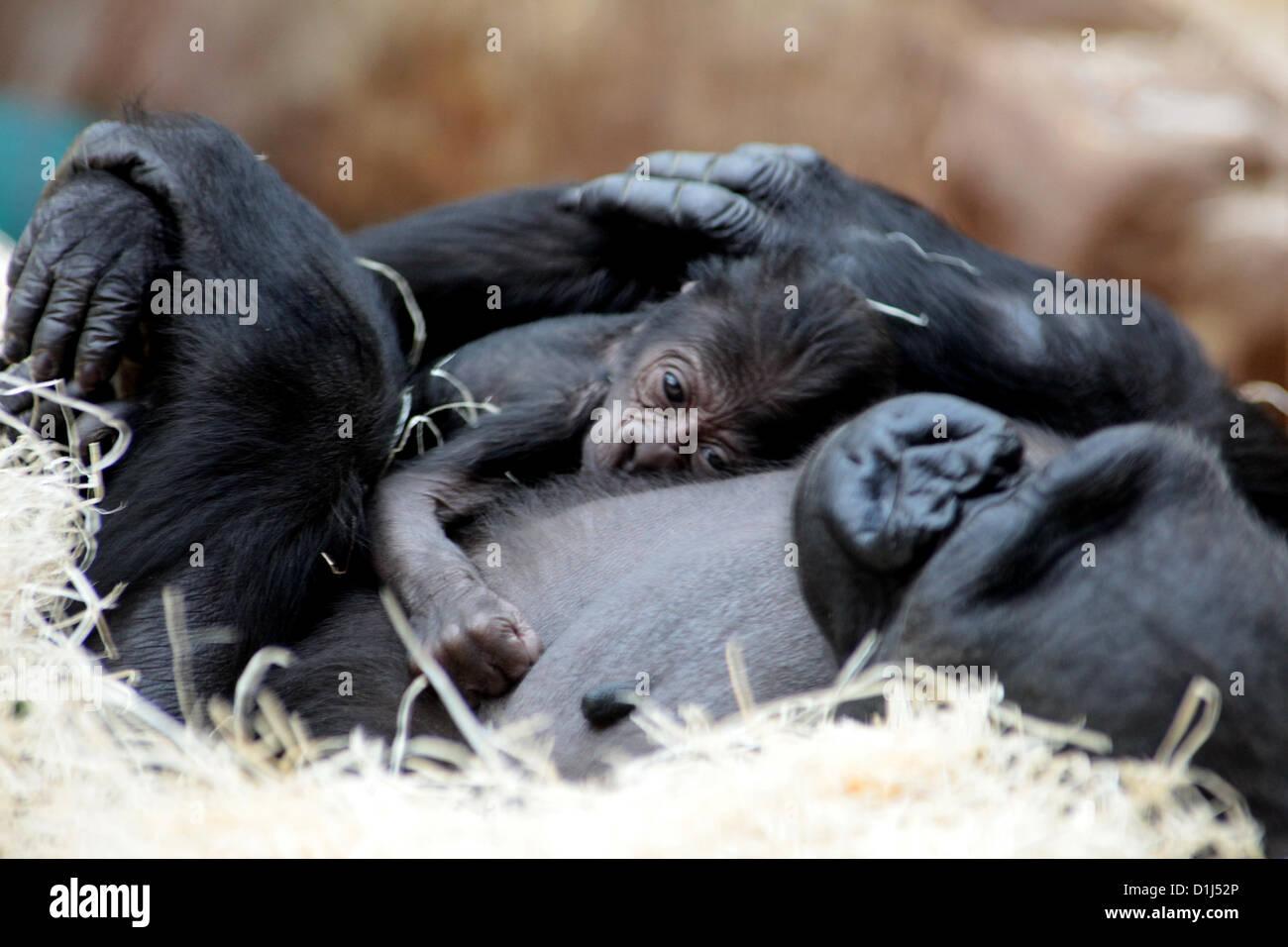 Praga, República Checa. 24rd, 2012 Kijivu Dec, un gorila de las tierras bajas, sostiene a su bebé recién nacido Foto de stock