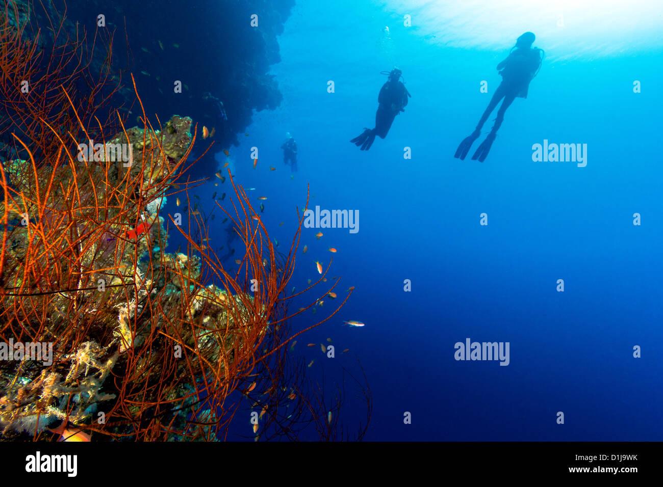 Un grupo de buzos en silueta nadar junto a un látigo coral en un arrecife profundo wall Foto de stock