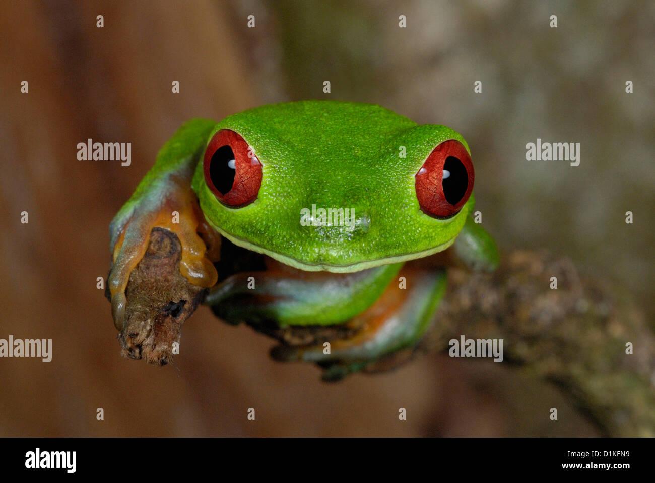 Treefrog de ojos rojos (Agalychnis callidryas) en el bosque lluvioso de Costa Rica Foto de stock