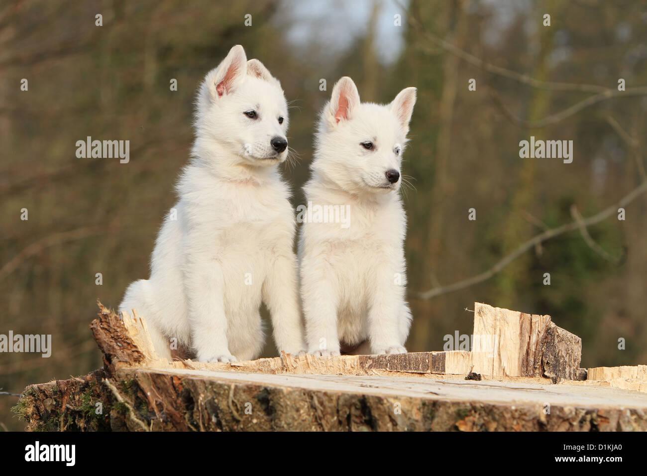 El Pastor Blanco Suizo perro / BERGER BLANC SUISSE dos cachorros juntos Foto de stock