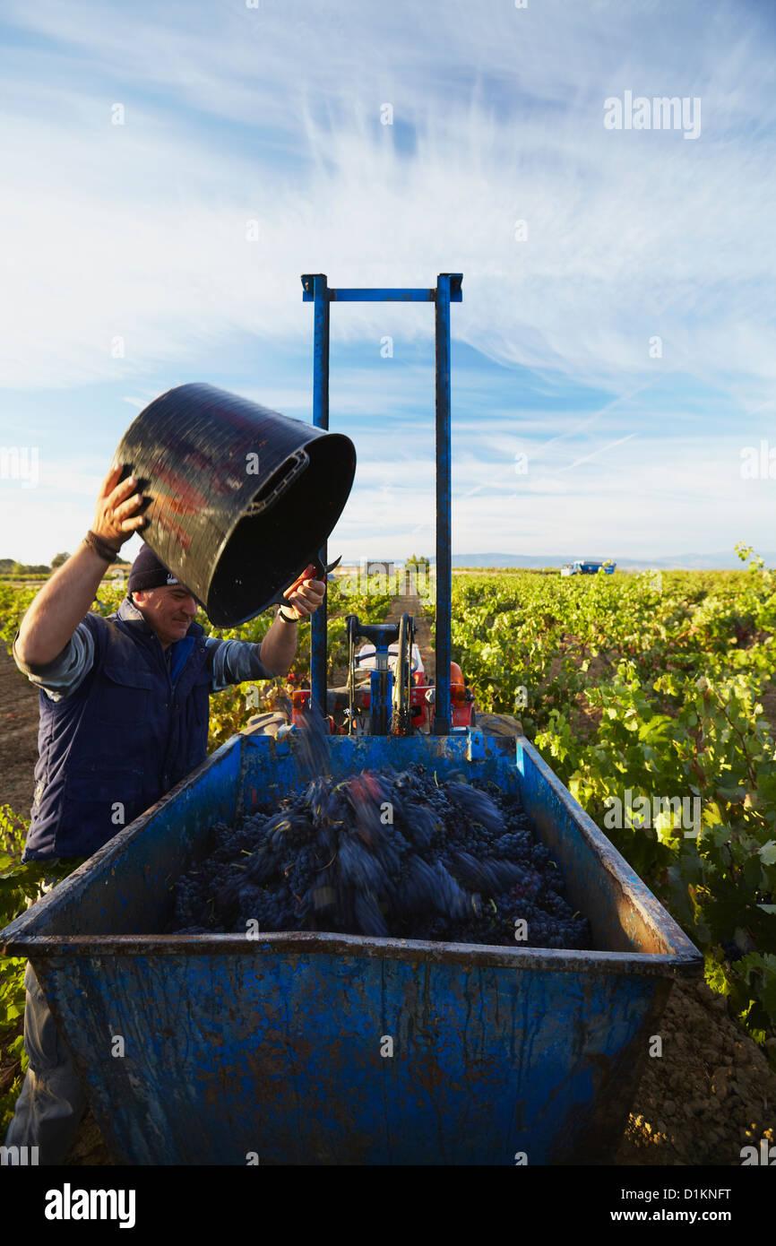 """La cosecha de uvas de vino """"tempranillo"""". Lanciego. La ruta del vino de Rioja alavesa. Alava. Comunidad Imagen De Stock"""