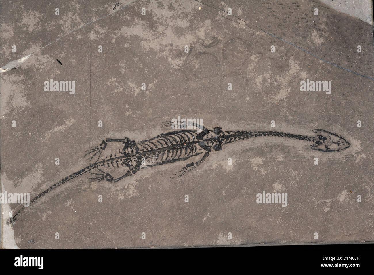 Triásico reptiles fósiles Keichousaurus Hui, China Foto de stock