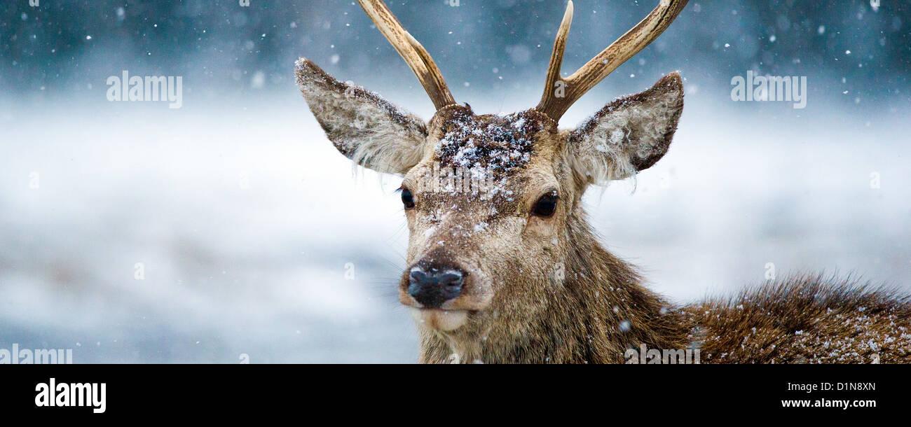 Ciervo ciervo en una tormenta de nieve una panorámica de la imagen fotografiada en los Cairngorms las Highlands escocesas Foto de stock