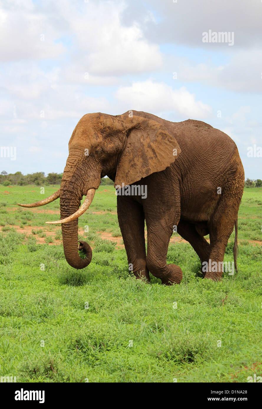 El elefante, el Elefante Africano, el Parque Nacional de Tsavo East, Kenya, Africa. Imagen De Stock