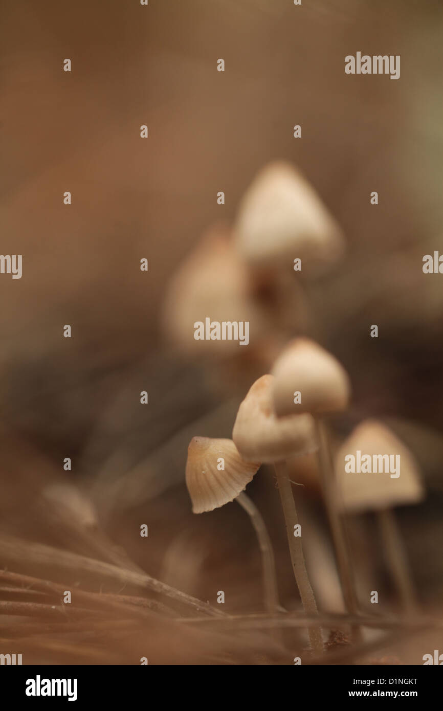 Mealy capot setas (Mycena cinerella) creciendo bajo los pinos. Foto de stock