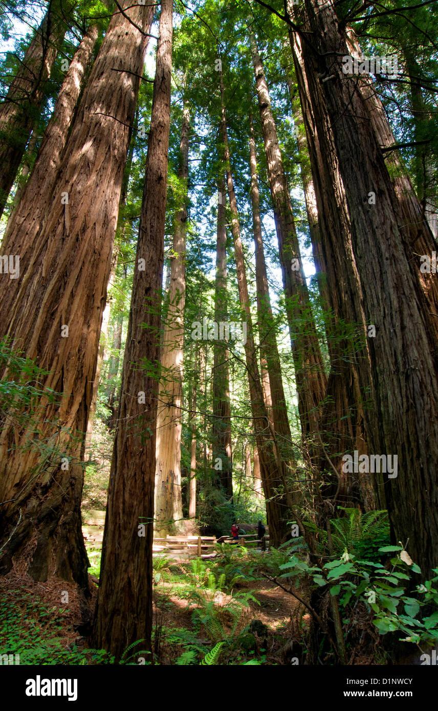 Redwoods en Cathedral Grove, Monumento Nacional Muir Woods, California, EE.UU. Foto de stock