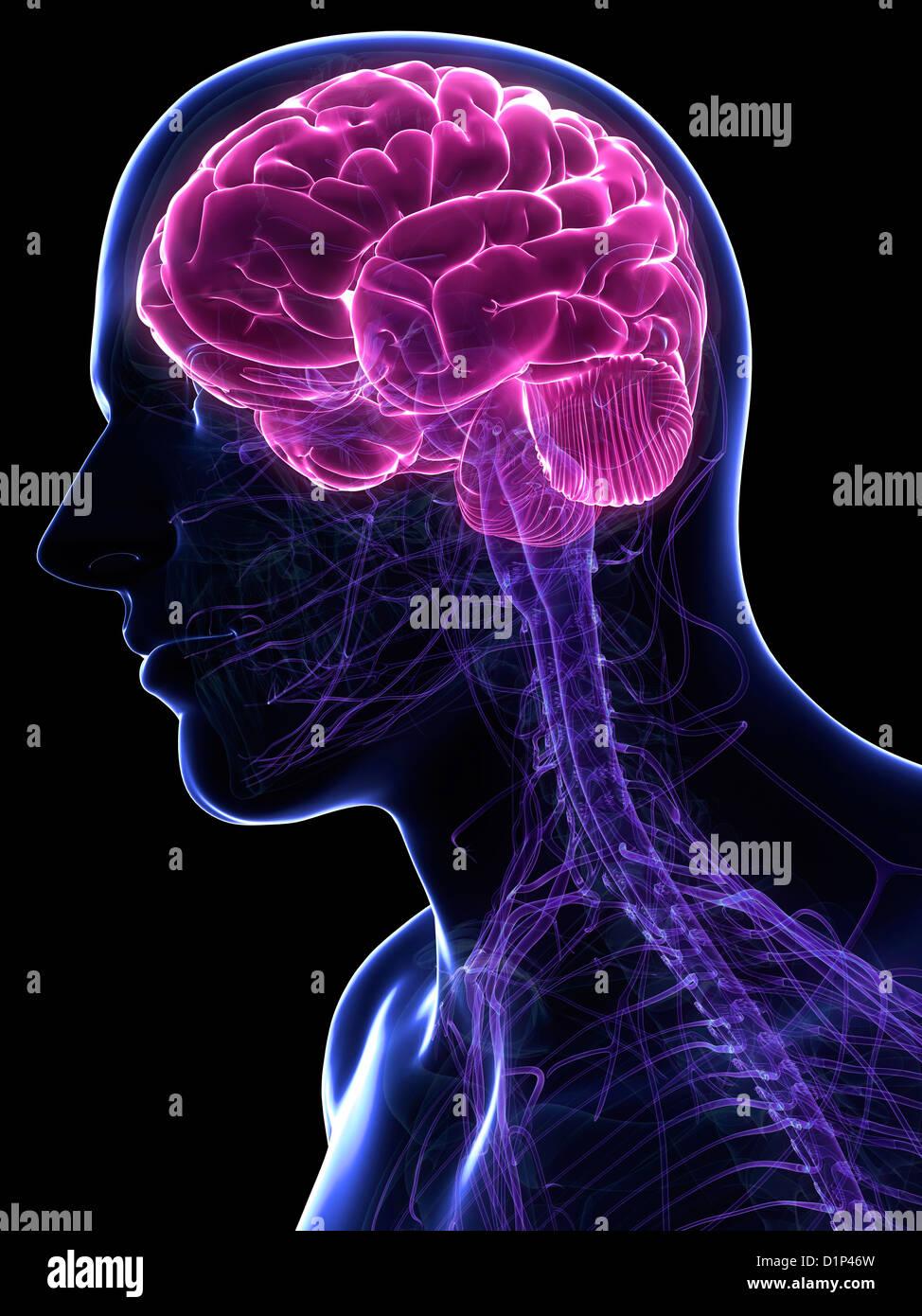Cerebro masculino, ilustraciones Imagen De Stock