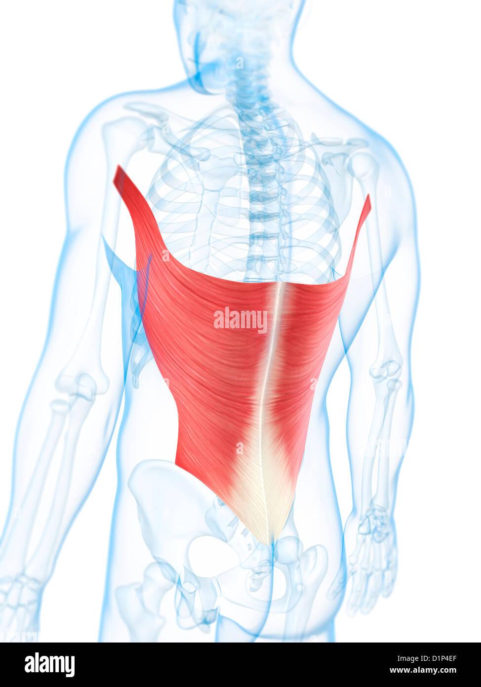 Muscles Of The Back Imágenes De Stock & Muscles Of The Back Fotos De ...