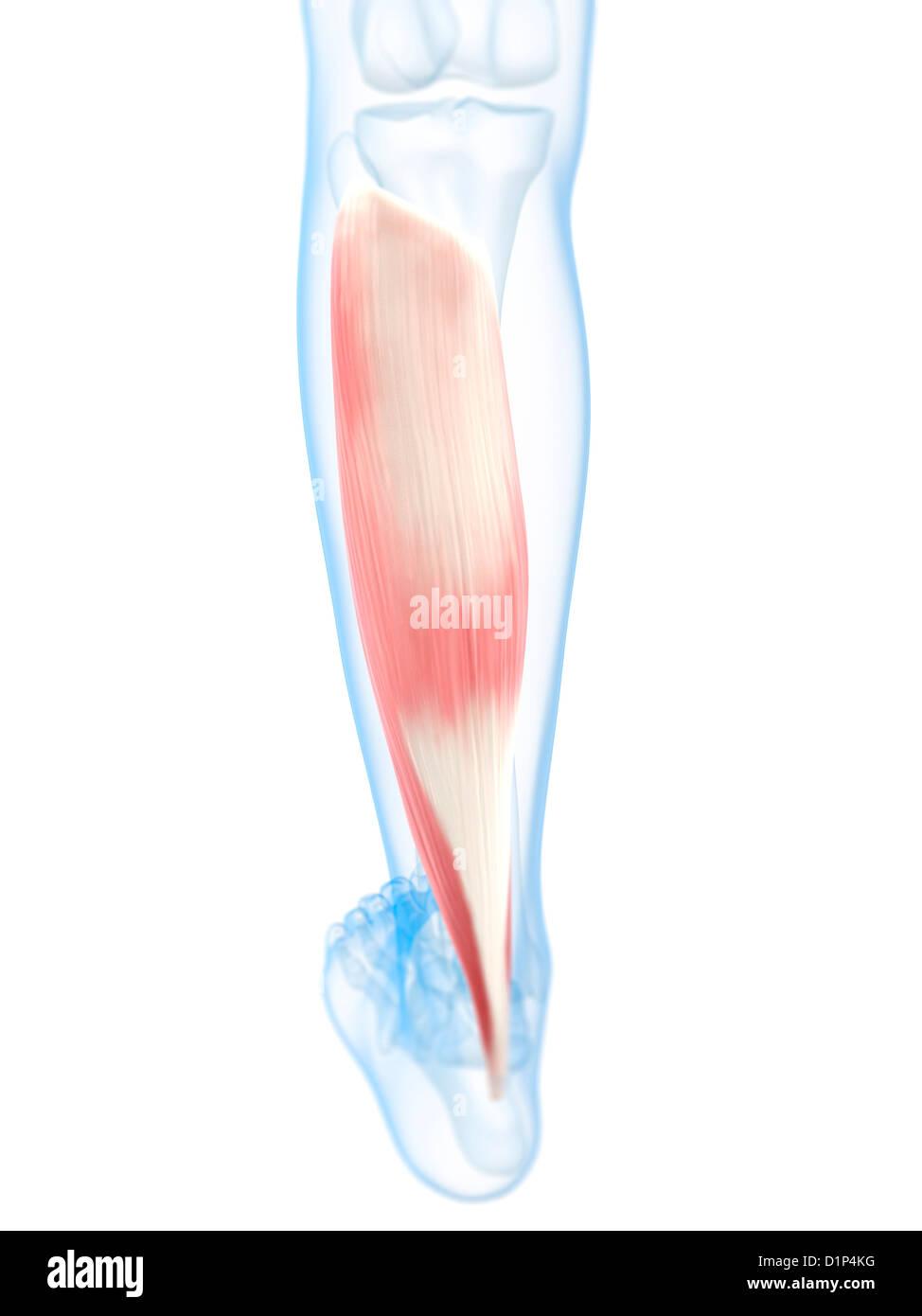 Músculo de la pantorrilla, ilustraciones Foto & Imagen De Stock ...
