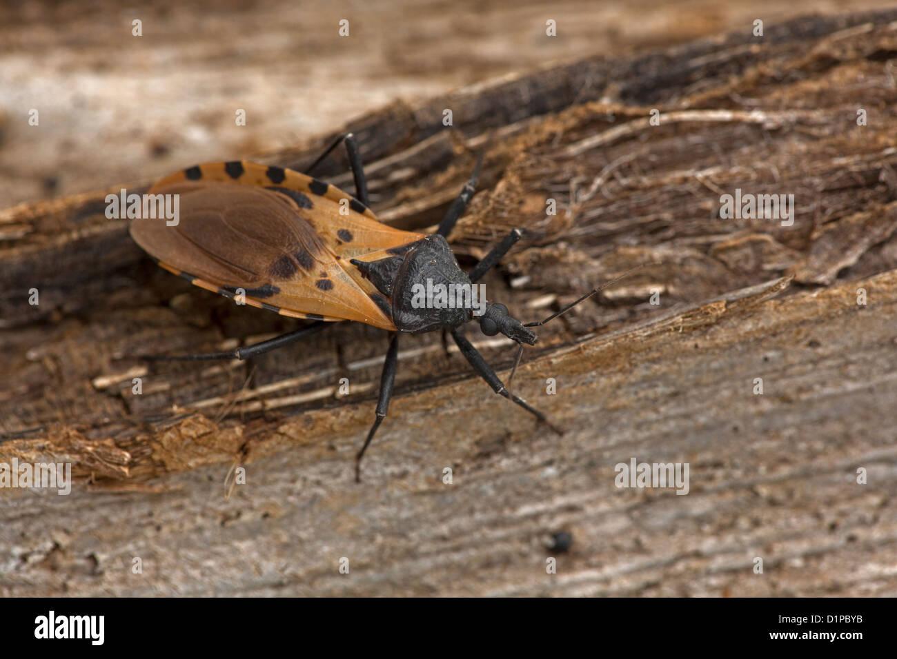 Chupo el Triatoma dimidiata,los principales vectores de Trypanosoma cruzi en Costa Rica, transmite la enfermedad Imagen De Stock