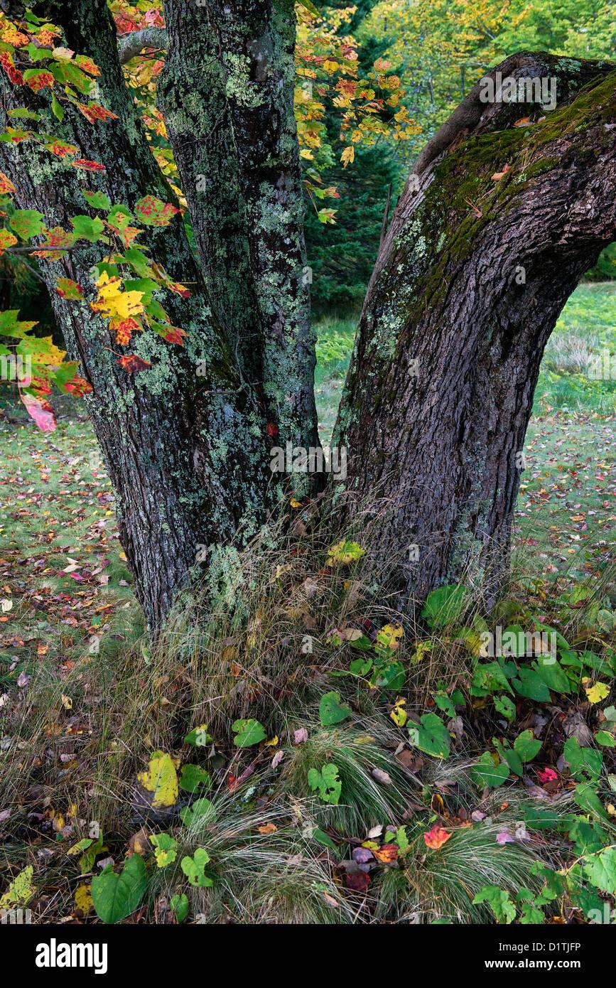 Detalle del tronco del árbol del otoño, Maine Imagen De Stock