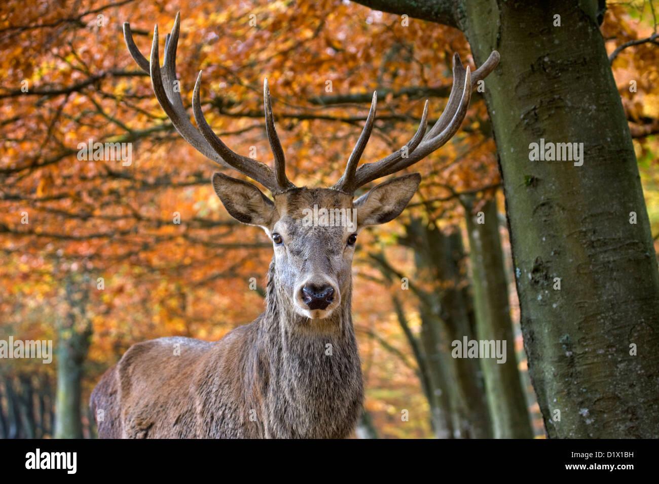 Ciervo rojo (Cervus elaphus) cerca de ciervo en otoño bosque, Ardenas belgas, Bélgica Imagen De Stock