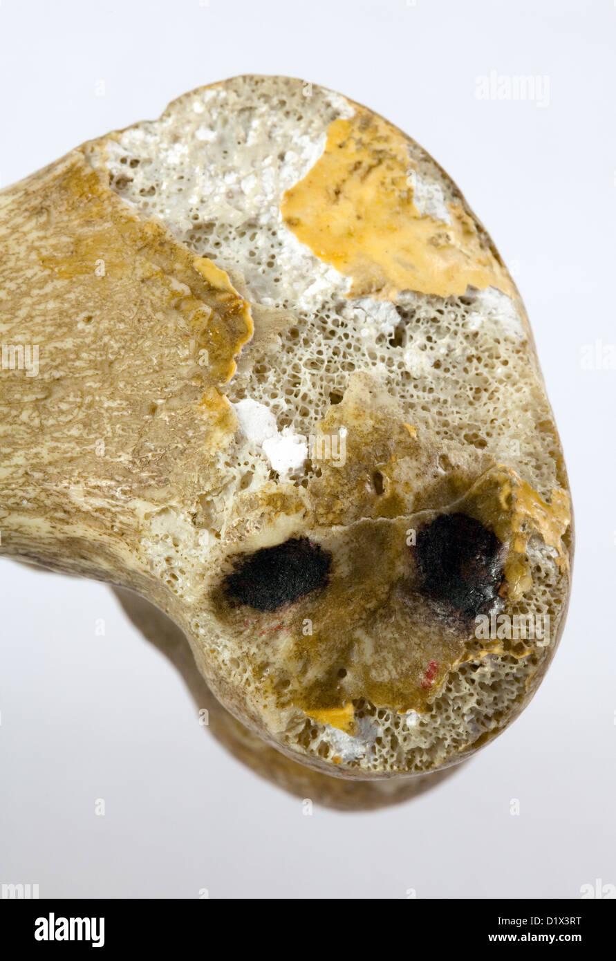 Real Bone Imágenes De Stock & Real Bone Fotos De Stock - Alamy