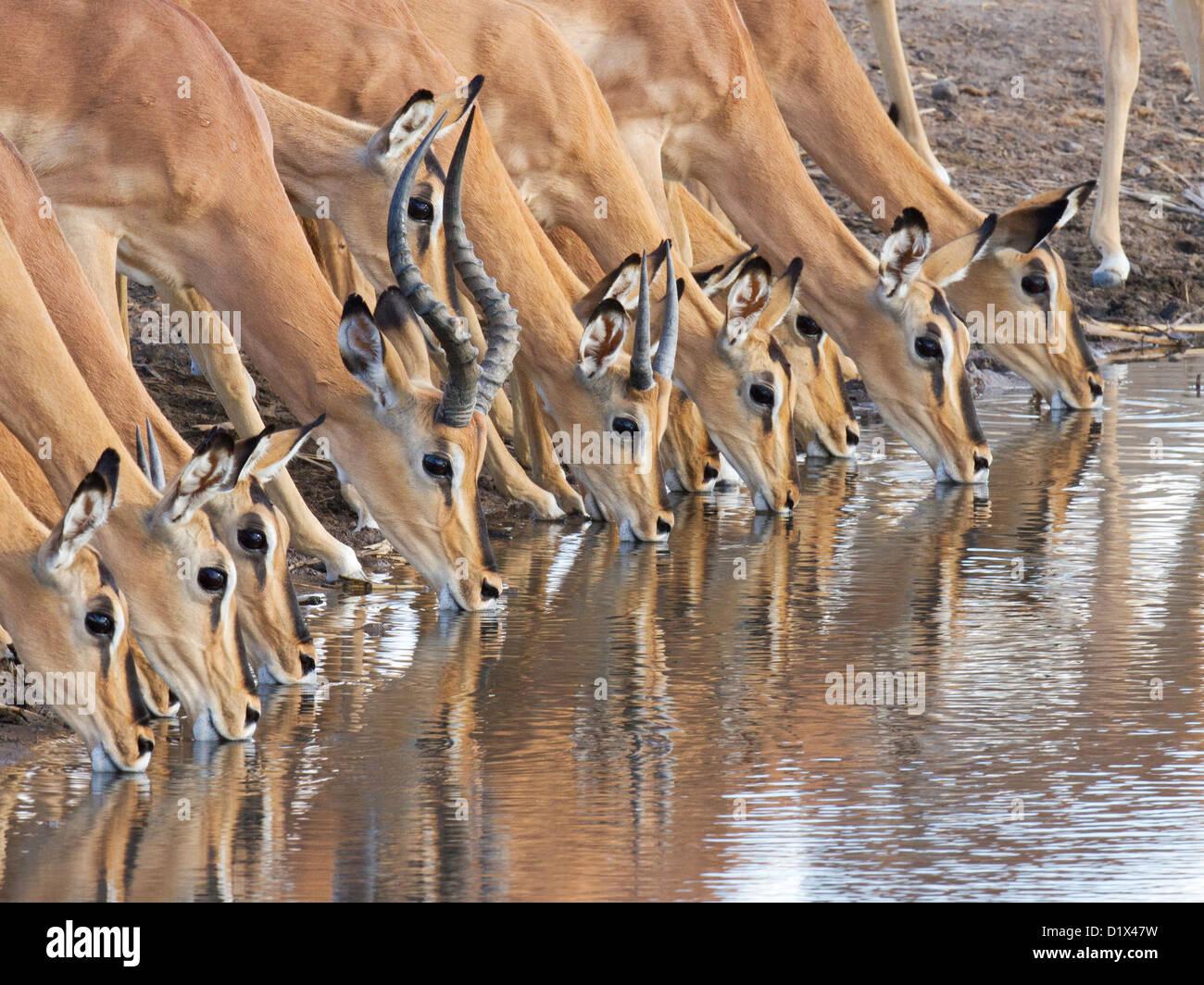 Manada de amenazadas Impala Blackfaced bebiendo en Namibia Imagen De Stock