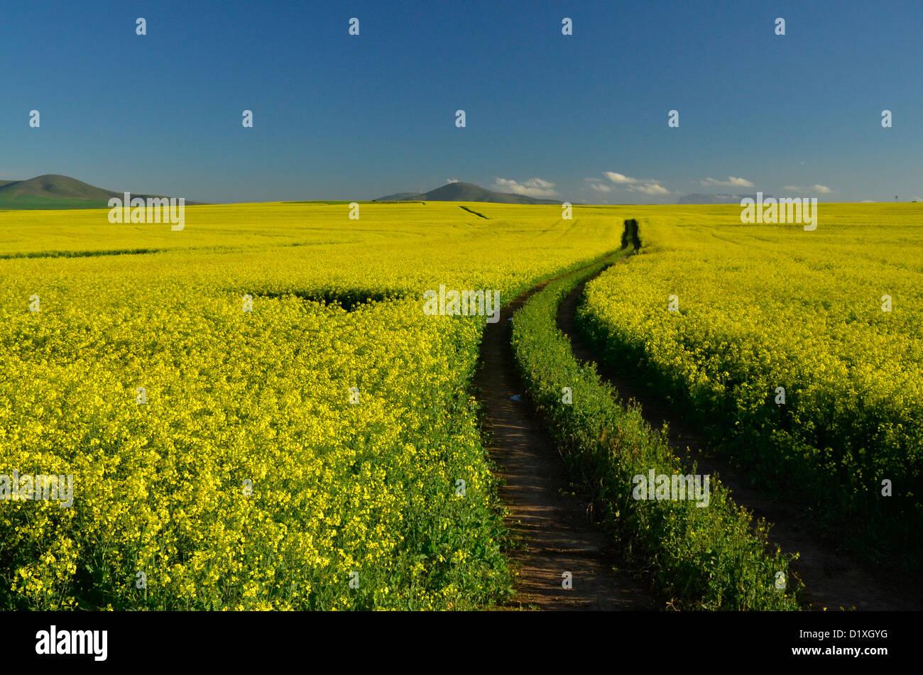Campo De Colza Amarillos Con La Ruta Que Conduce A Distancia Donde