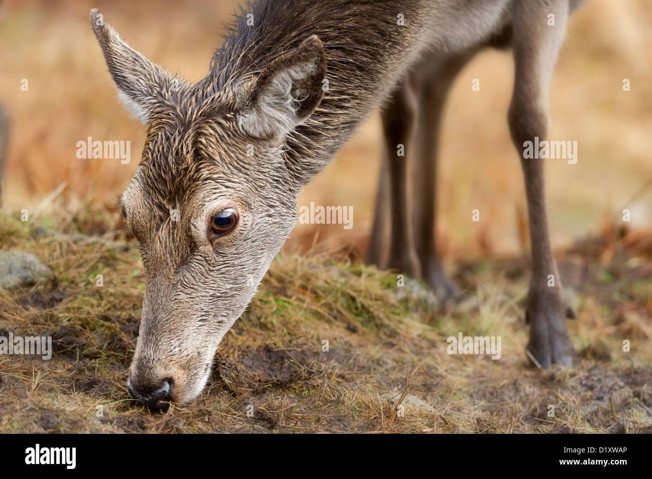 Un cierre para arriba el retrato de un joven ciervo hind Cervus elaphus materna en las montañas escocesas Foto de stock