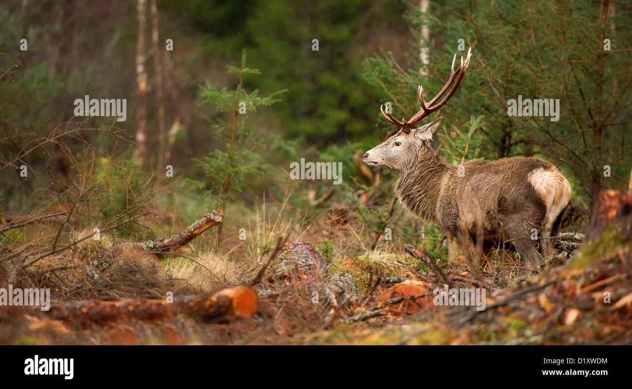 Cervus elaphus ciervo ciervo rojo con impresionantes astas recorre un claro en el bosque Etive en Glencoe Escocia Foto de stock