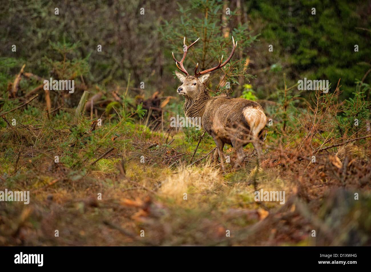 Cervus elaphus ciervo cornamenta de ciervo rojo con impresionantes Foto de stock
