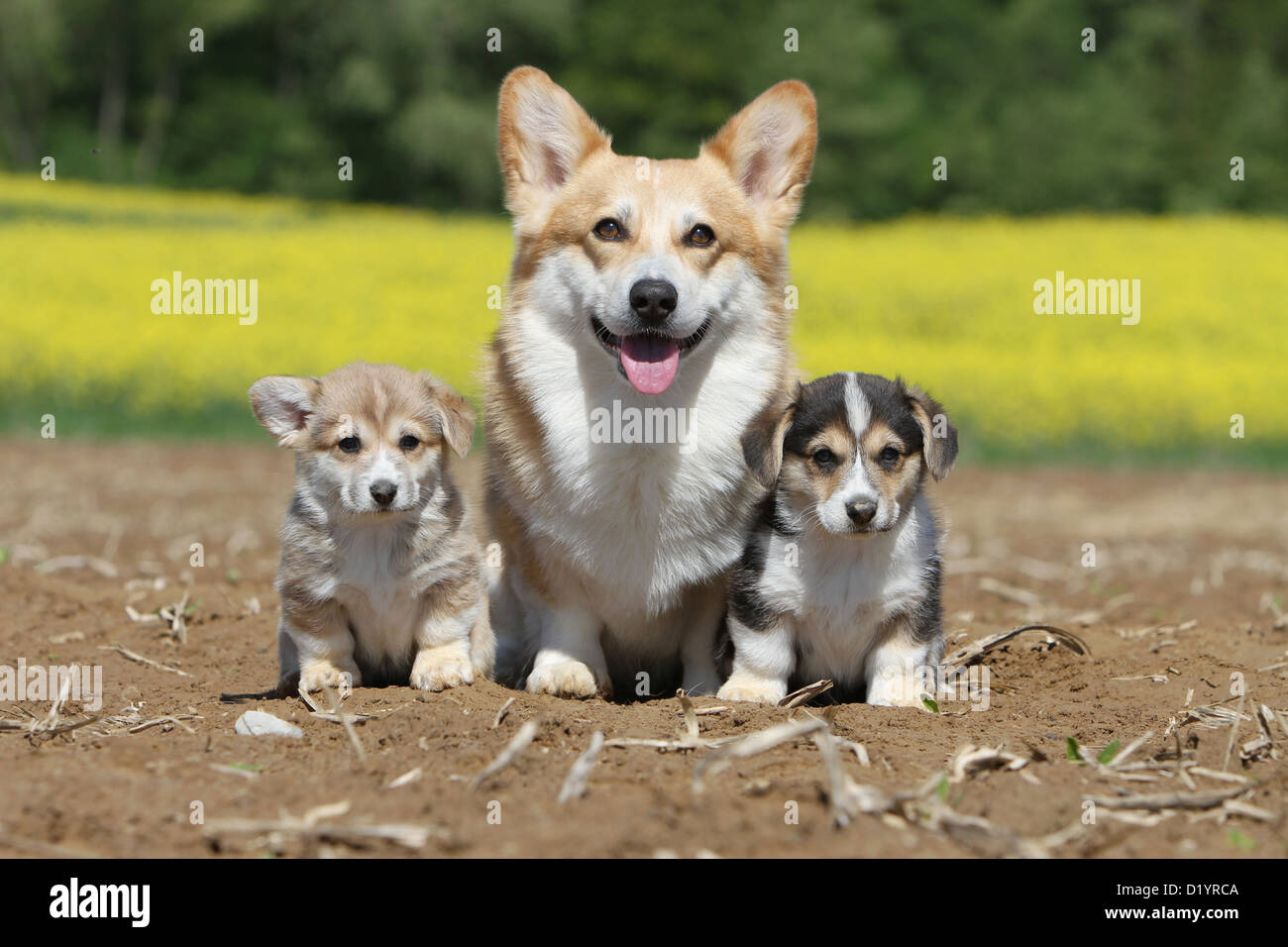Welsh Corgi Pembroke perro adulto y dos cachorros de diferentes colores sentado Foto de stock