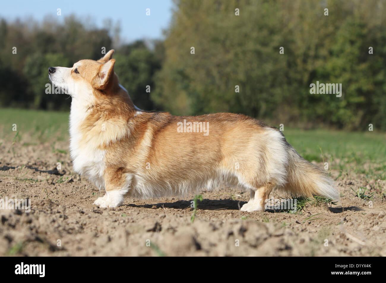 Welsh Corgi Pembroke perro adulto de perfil estándar Foto de stock