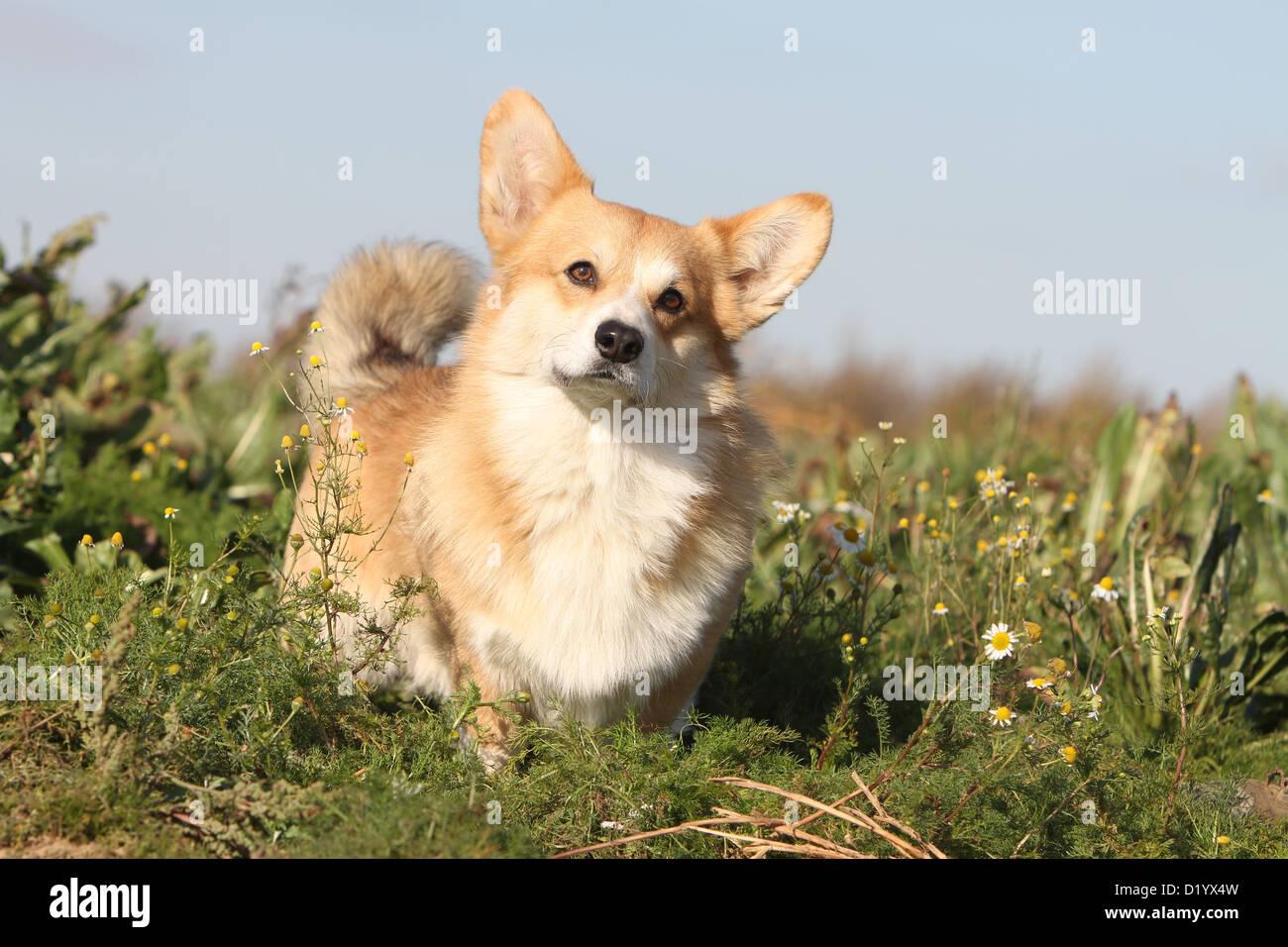 Perro Welsh Corgi Pembroke permanente de adultos Foto de stock