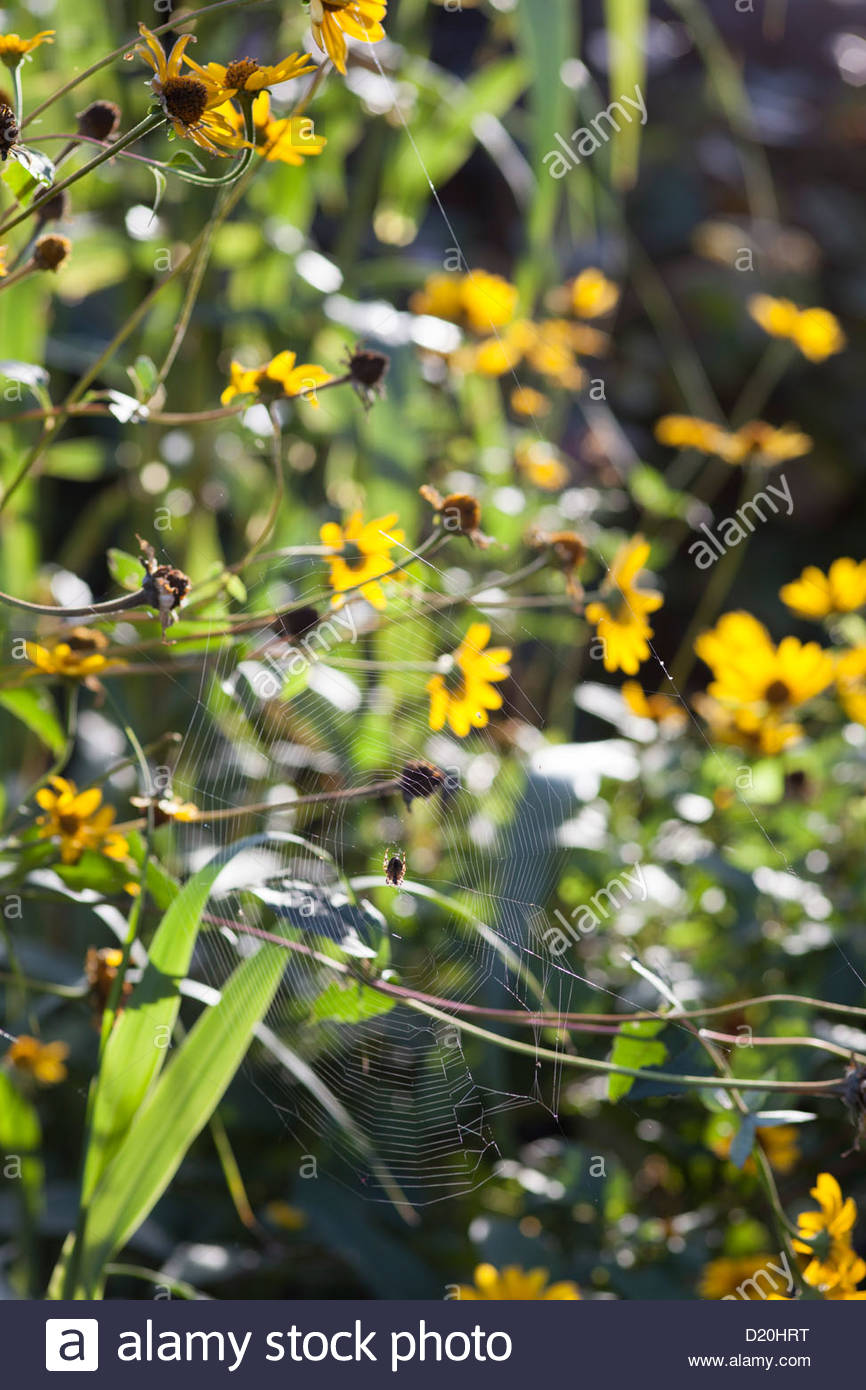 Tela de Araña entre Rudbeckia en jardín otoñal Imagen De Stock