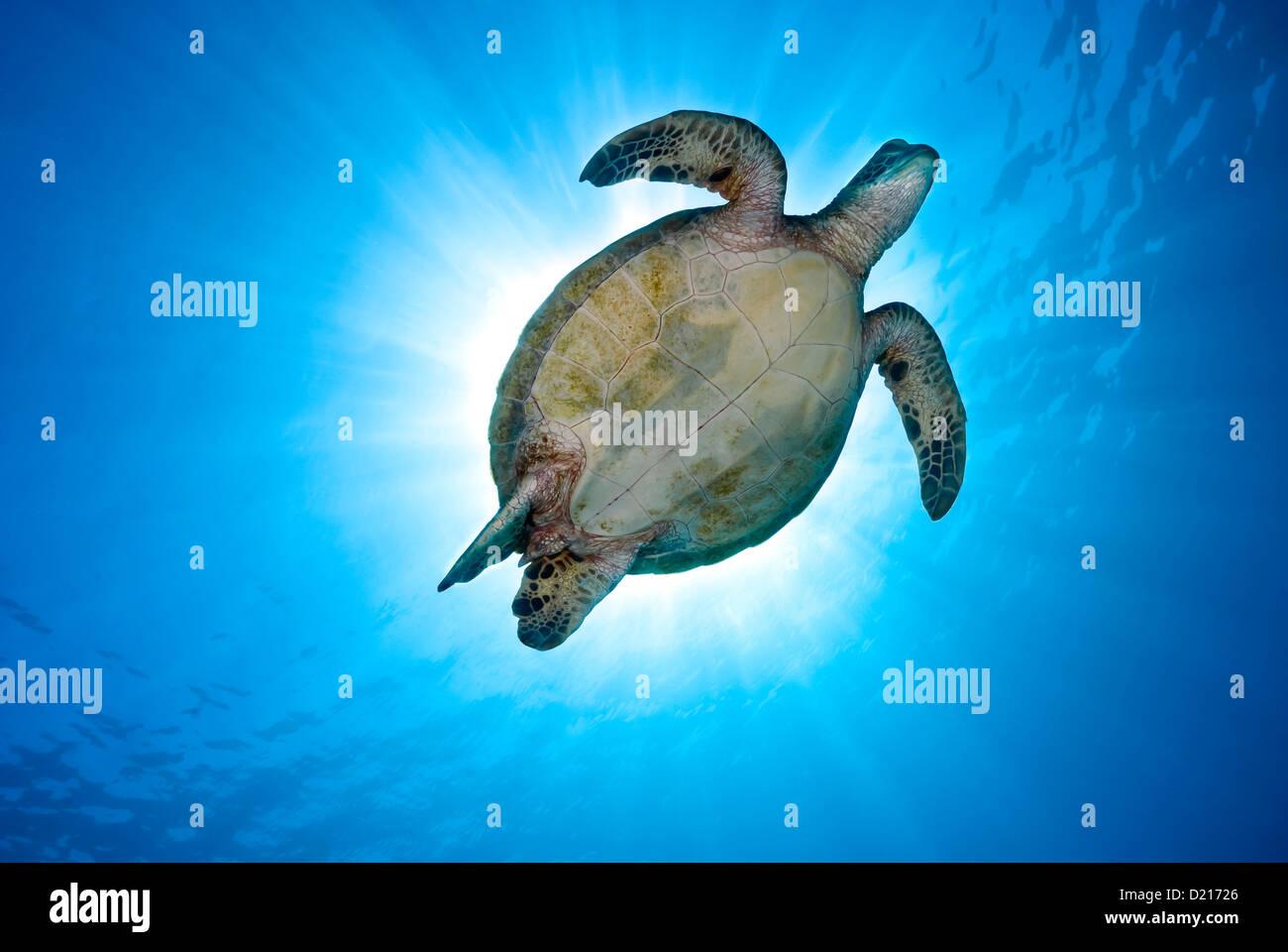Tortuga verde Chelonia mydas nadando sobre un arrecife de coral, Mar del Coral, Gran Barrera de Coral, el Océano Imagen De Stock