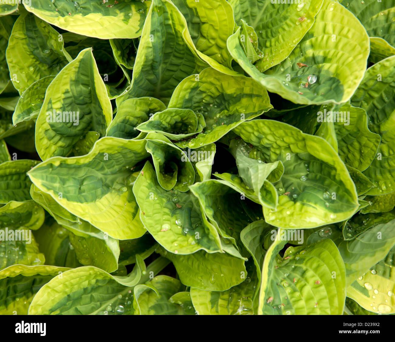 Una planta hosta con hojas variegadas Imagen De Stock