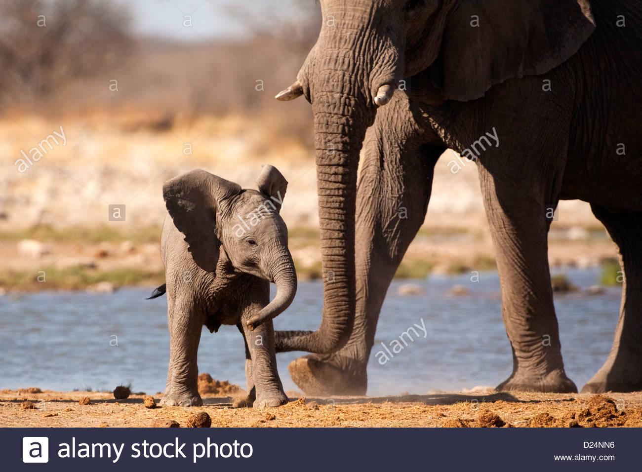 Elefante Africano Loxodonta africanus, madre elefante bebé ayudando a caminar Imagen De Stock