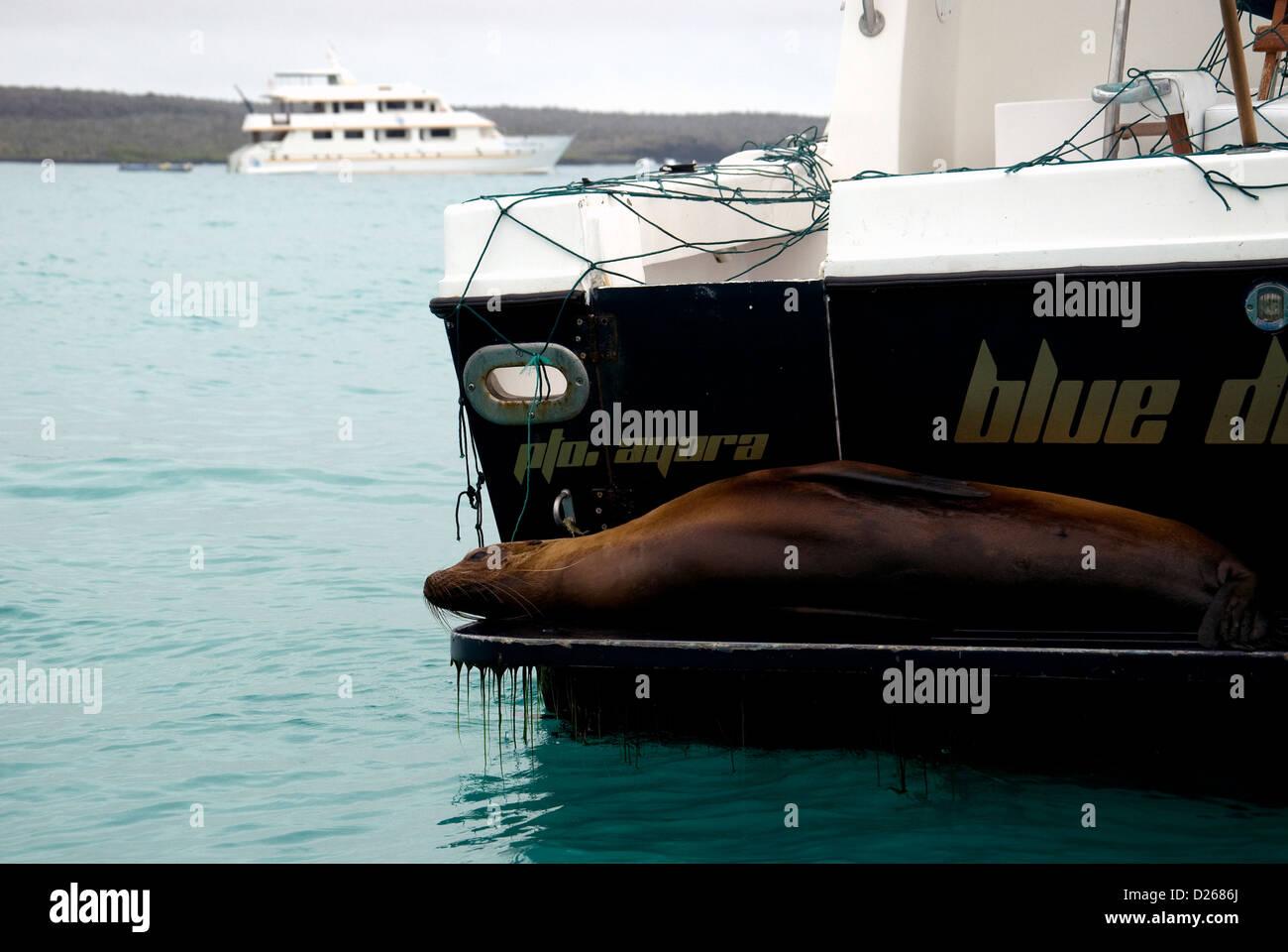 Un relajado lobo de mar de Galápagos estirados hacia atrás de un barco anclado entre otros en el puerto Imagen De Stock