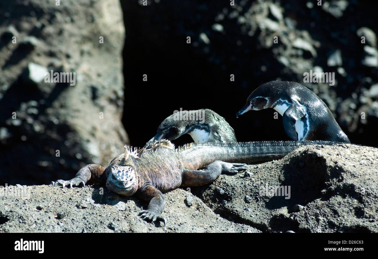 Especies muy diferentes, una iguana marina y dos pasando los pingüinos, ignorar el uno al otro en su mundo Imagen De Stock
