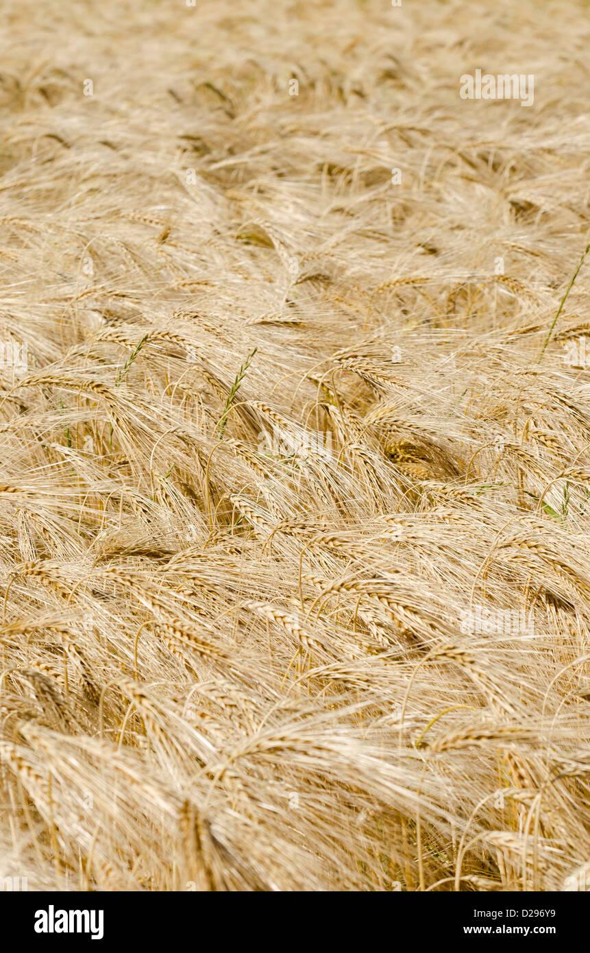 Un campo de cebada. Imagen De Stock