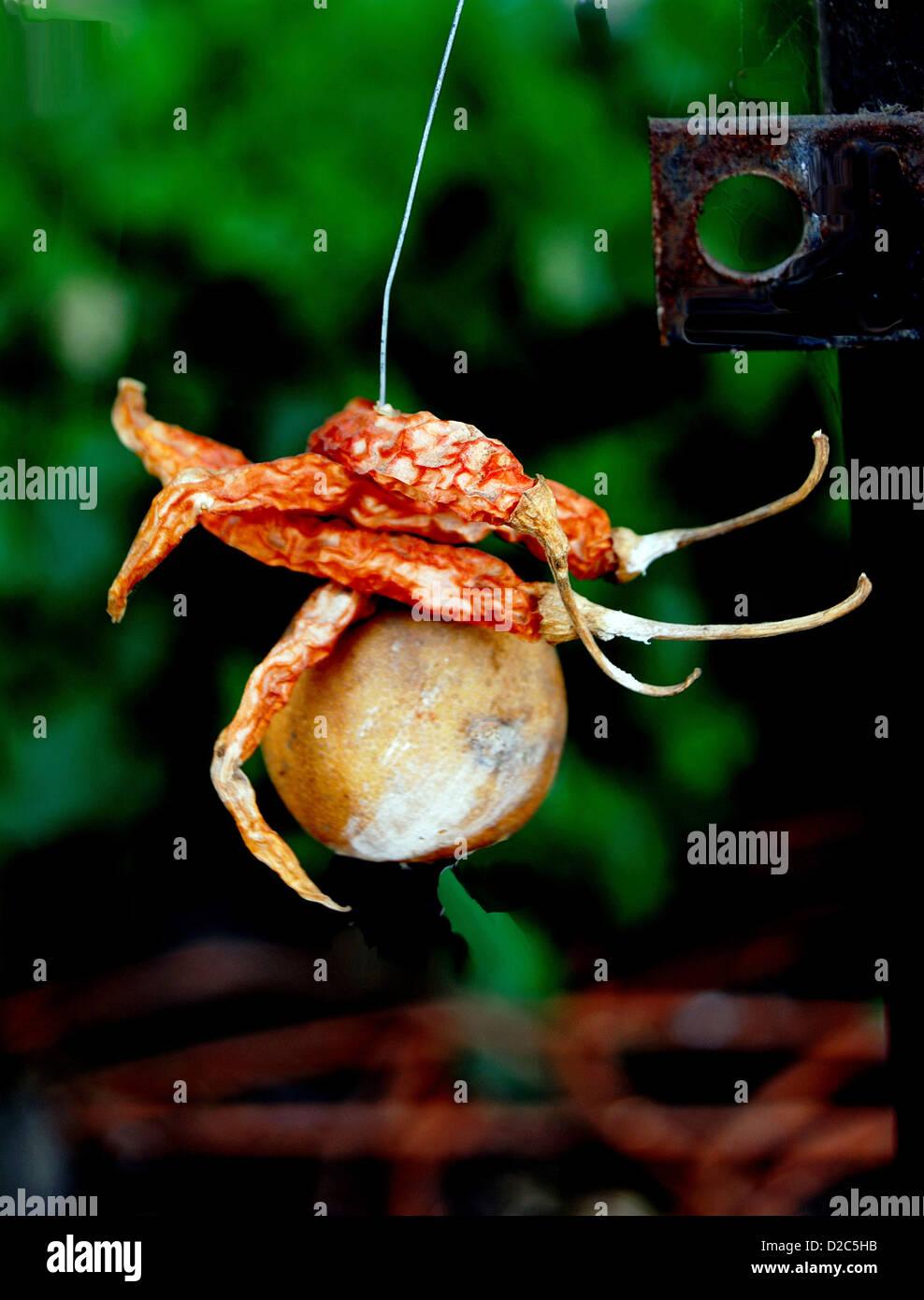 La superstición Concepto, colgantes de rosca chiles rojos secos y limón, India Imagen De Stock
