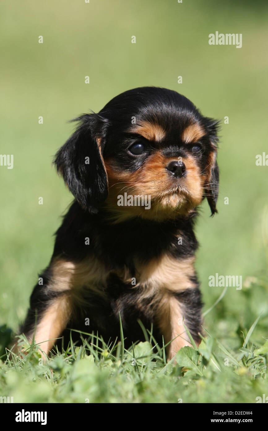Cavalier King Charles Pups Fotos E Imagenes De Stock Alamy