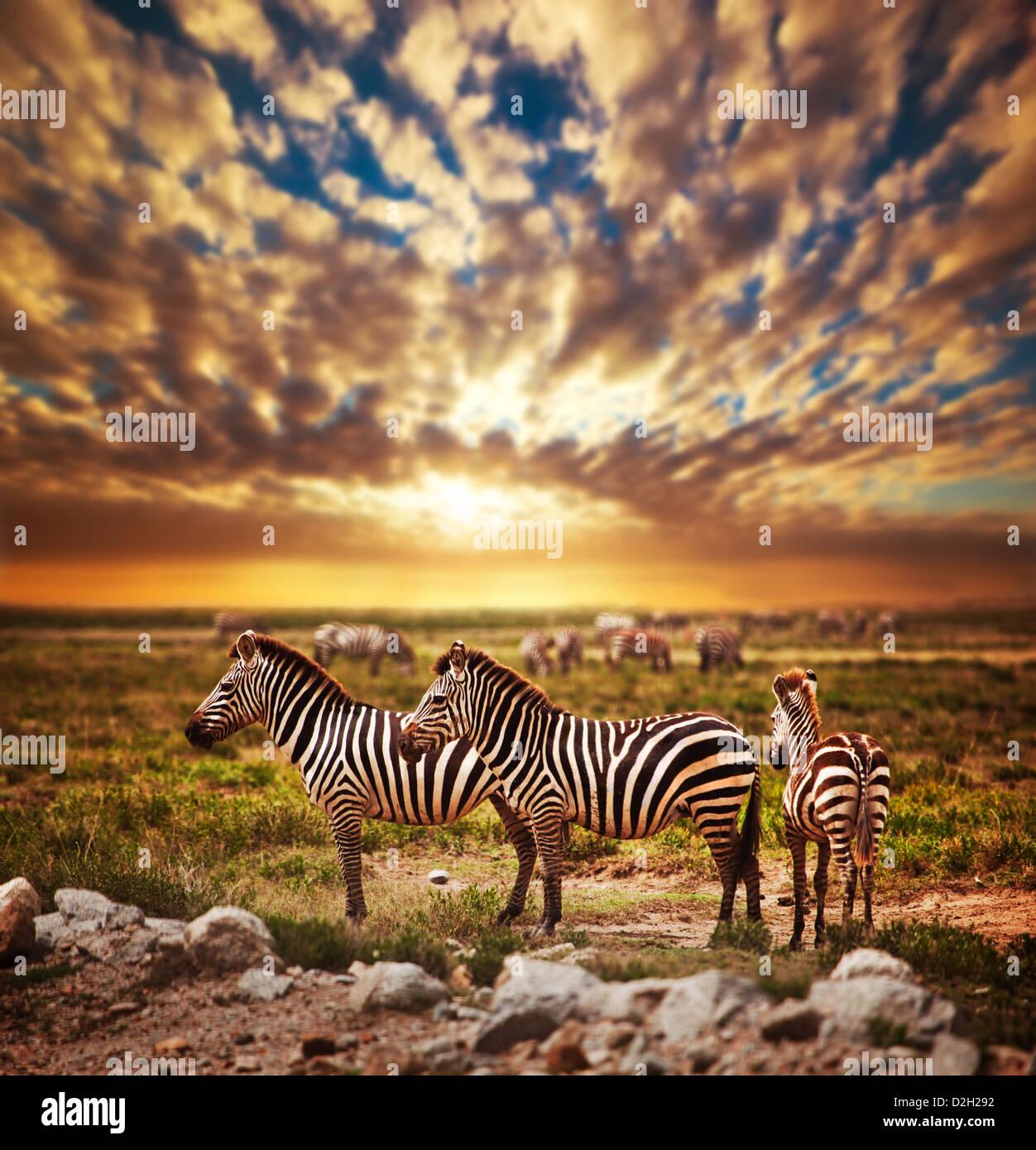 Cebras rebaño en la sabana al atardecer, África. Safari en el Parque nacional Serengeti, Tanzania Imagen De Stock