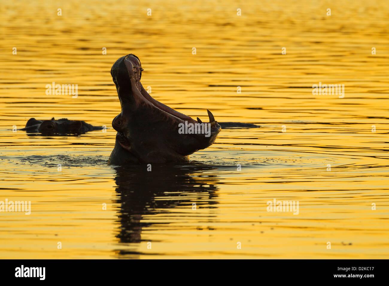 Silueta de un hipopótamo bostezando en la dorada luz del atardecer Foto de stock