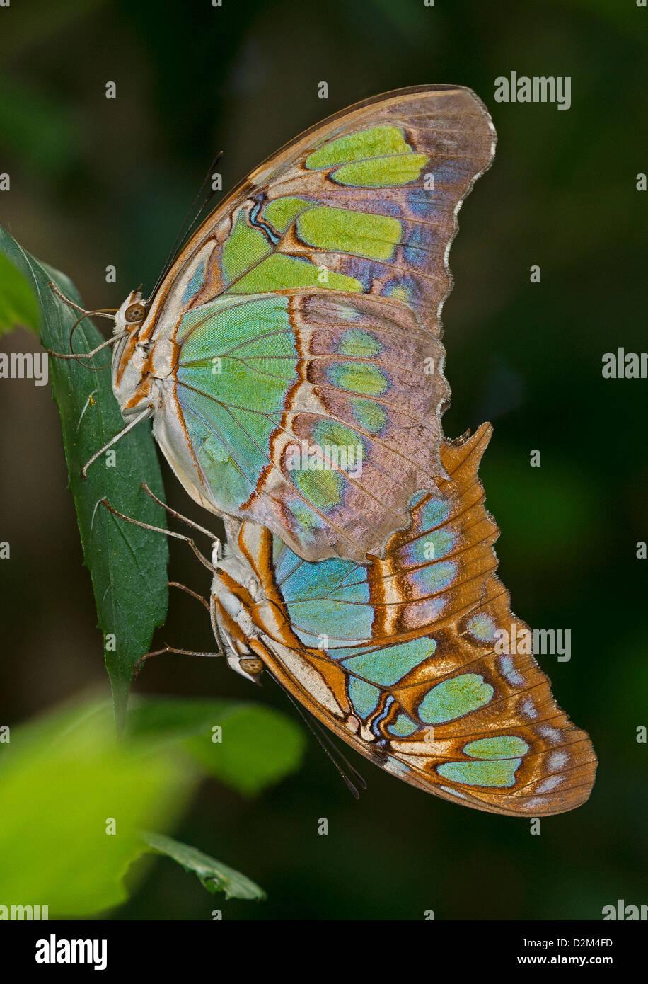 El apareamiento Malaquita mariposas Foto de stock