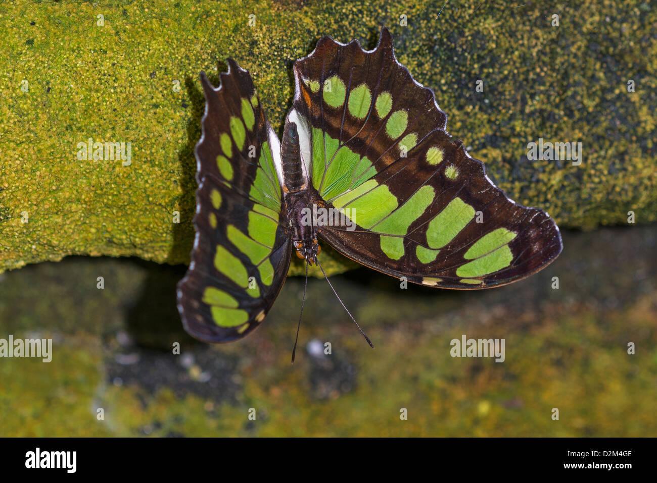 Un adulto Malaquita butterfly Foto de stock